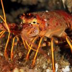 California Rock Lobster (Panulirus interruptus)